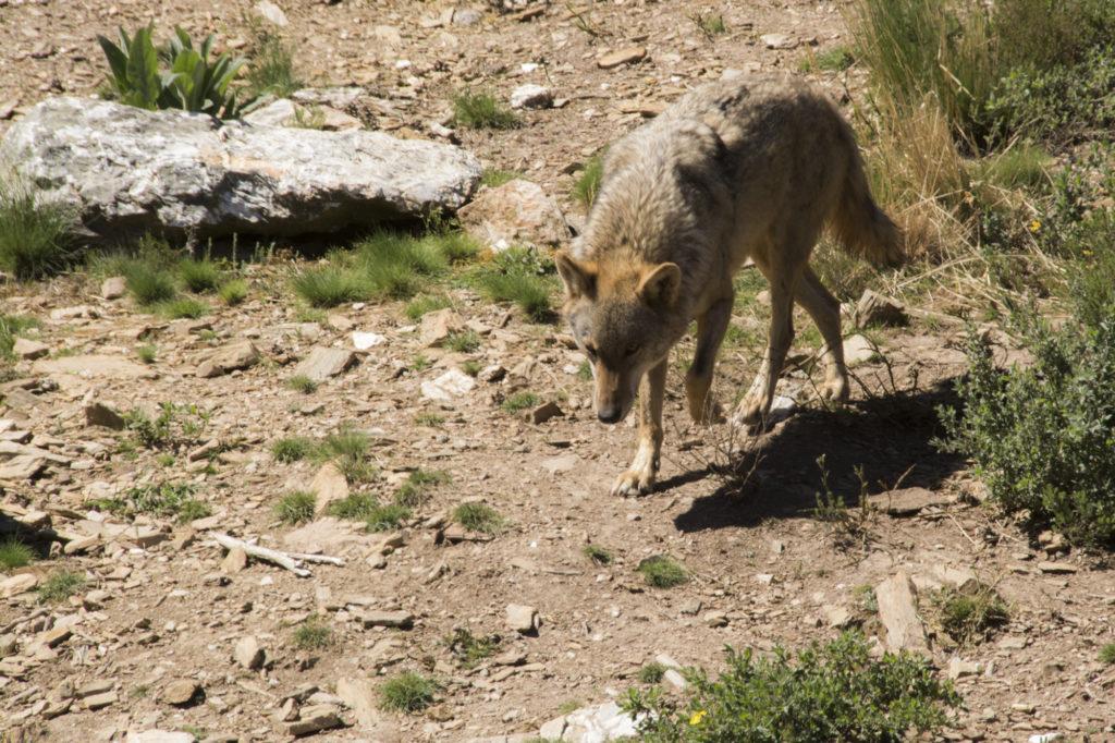 Lobo ibérico en el Centro del Lobo Ibérico de Zamora