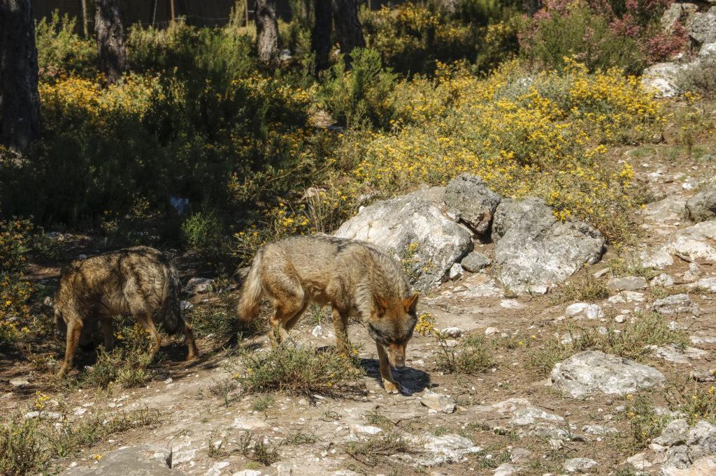 Lobos ibéricos en el Centro del Lobo Ibérico de Zamora