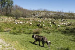 Un mastín cuida del rebaño en Zamora.