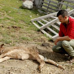 Ataque de lobos a un ternero en El Barraco (Ávila)