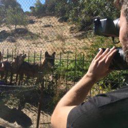 Grabación de lobos en cautividad en el Centro de Naturaleza Cañada Real (Madrid)