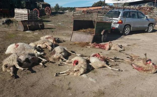 Once ovejas muertas en un ataque de lobo en Moral de Sayago (Zamora)