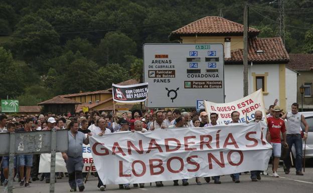 Los ataques del lobo generan pérdidas de 1,5 millones al año a la ganadería de Asturias