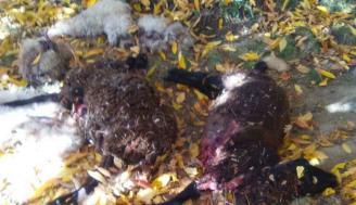 Ovejas matadas por el lobo en San Juan de la Cuesta. Foto Araceli Saavedra. La Opinión de Zamora