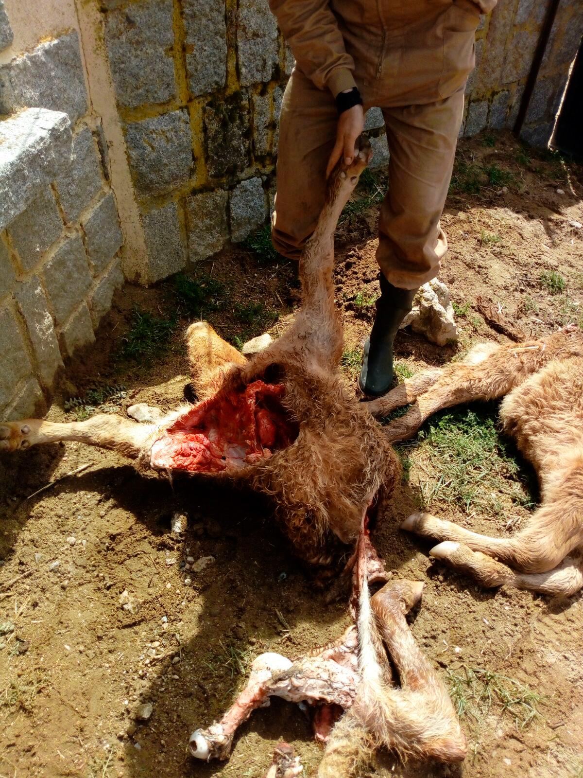 Uno de los animales muertos en Tornadizos de Ávila